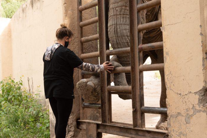 Las elefantas Pocha y Guillermina comenzaron el entrenamiento para ser trasladadas al Santuario de Brasil